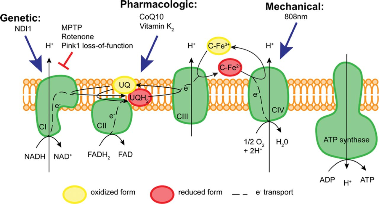 Coenzyme q10 mitochondria